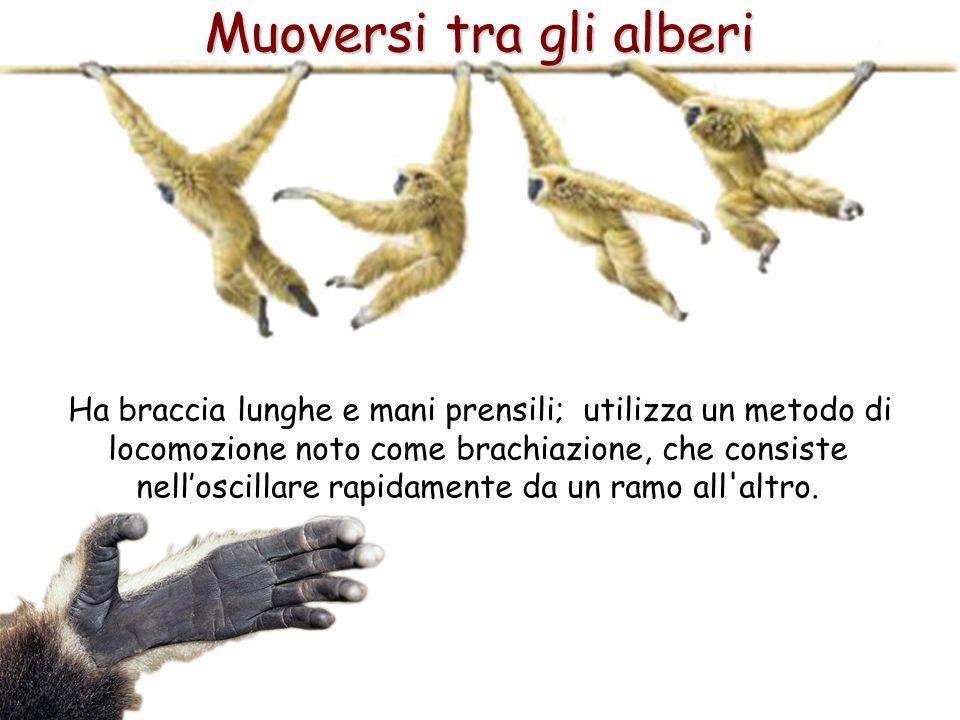42 Muoversi tra gli alberi Ha braccia lunghe e mani prensili; utilizza un metodo di locomozione noto come brachiazione, che consiste nell'oscillare ra