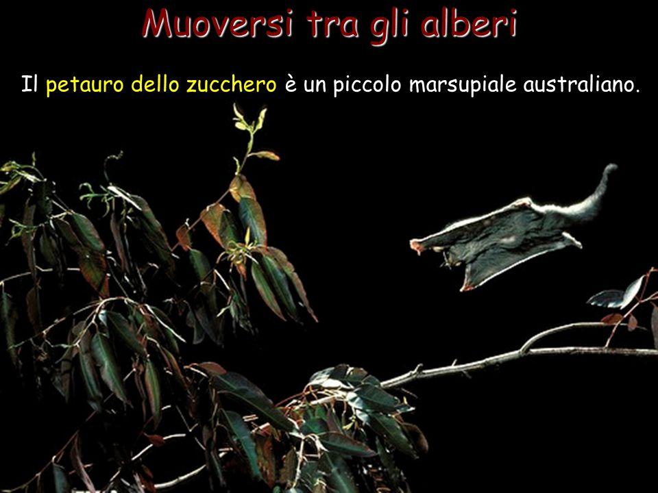 44 Muoversi tra gli alberi Il petauro dello zucchero è un piccolo marsupiale australiano.