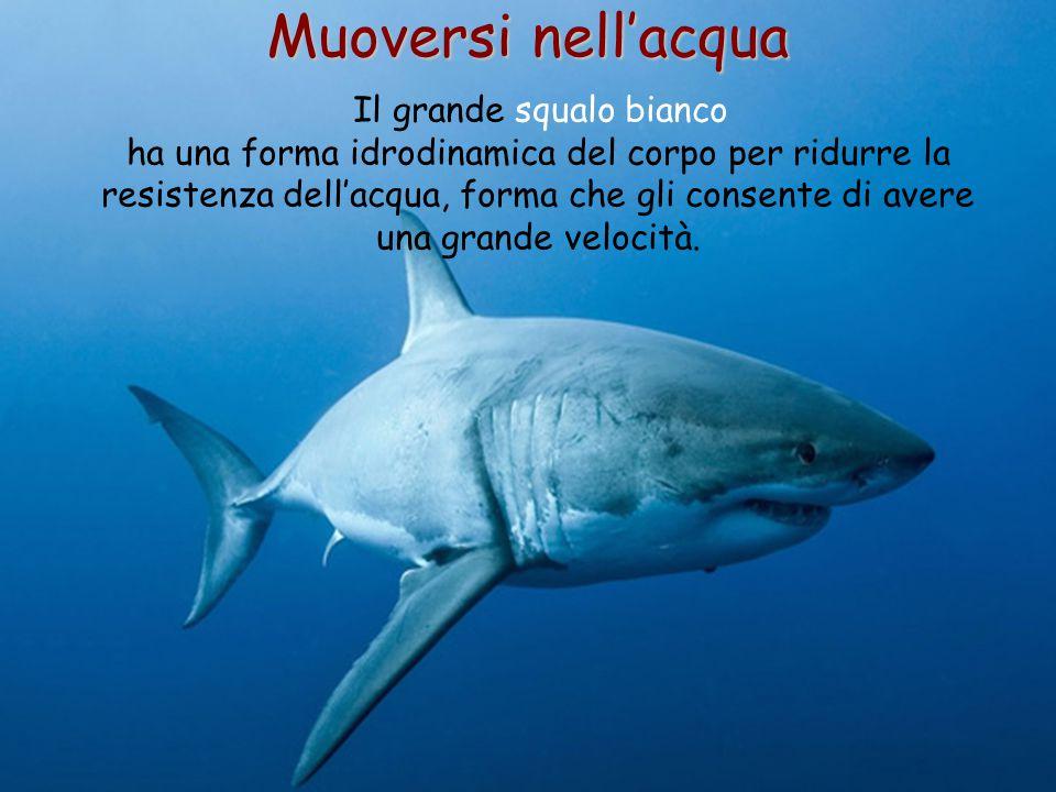 50 Muoversi nell'acqua Il grande squalo bianco ha una forma idrodinamica del corpo per ridurre la resistenza dell'acqua, forma che gli consente di ave
