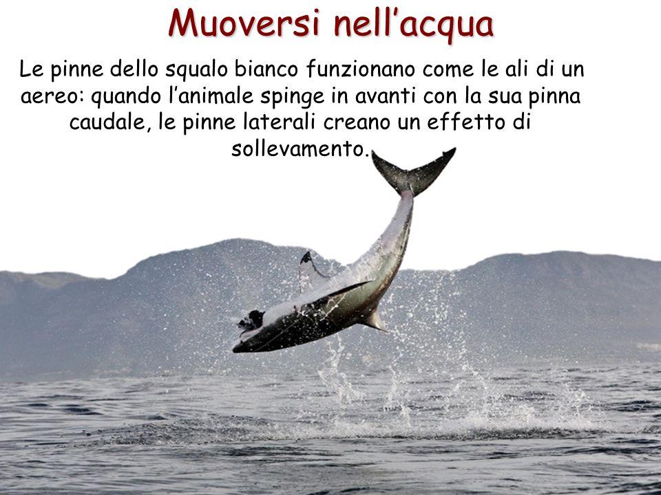 51 Muoversi nell'acqua Le pinne dello squalo bianco funzionano come le ali di un aereo: quando l'animale spinge in avanti con la sua pinna caudale, le