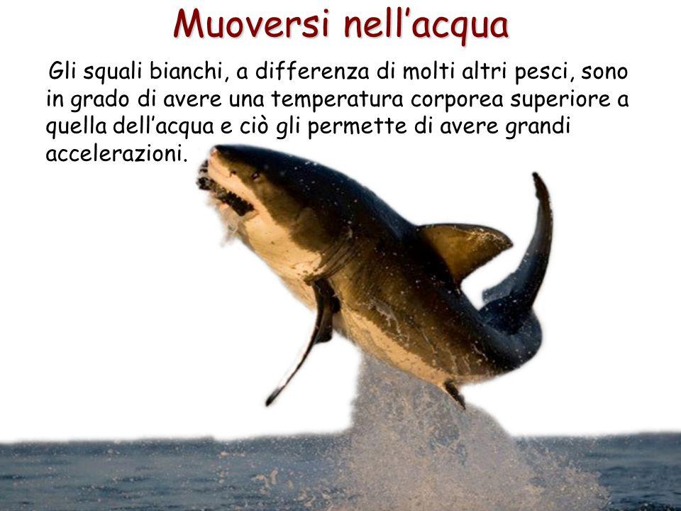52 Muoversi nell'acqua Gli squali bianchi, a differenza di molti altri pesci, sono in grado di avere una temperatura corporea superiore a quella dell'