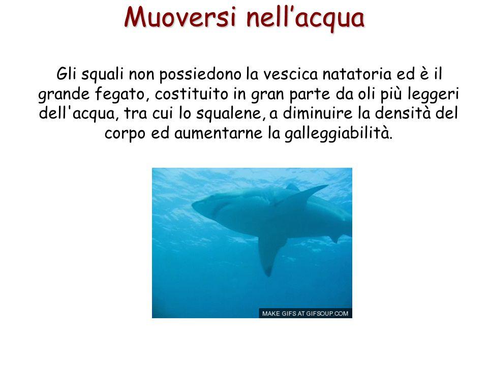 53 Muoversi nell'acqua Gli squali non possiedono la vescica natatoria ed è il grande fegato, costituito in gran parte da oli più leggeri dell'acqua, t