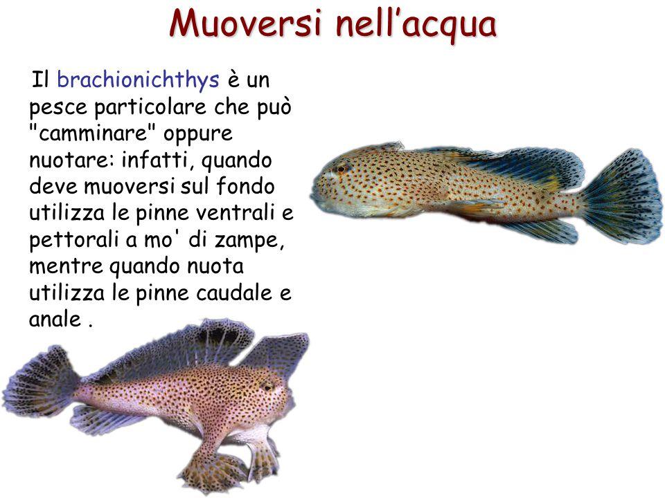 54 Muoversi nell'acqua Il brachionichthys è un pesce particolare che può