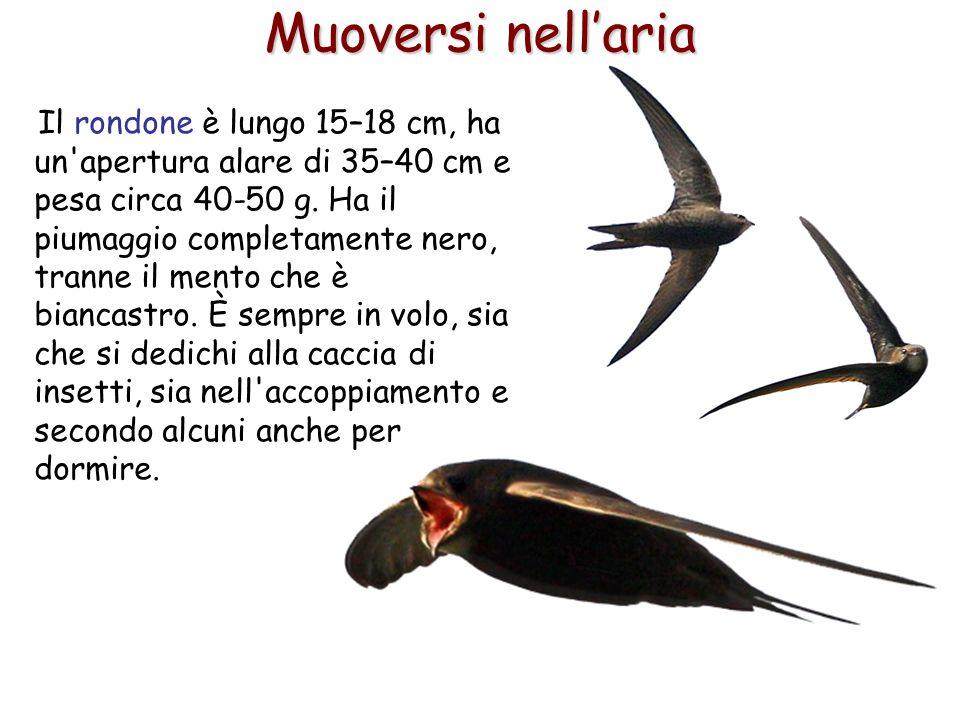 57 Il rondone è lungo 15–18 cm, ha un'apertura alare di 35–40 cm e pesa circa 40-50 g. Ha il piumaggio completamente nero, tranne il mento che è bianc