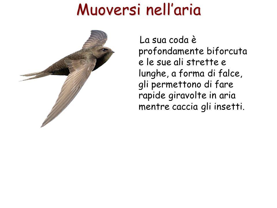 58 La sua coda è profondamente biforcuta e le sue ali strette e lunghe, a forma di falce, gli permettono di fare rapide giravolte in aria mentre cacci