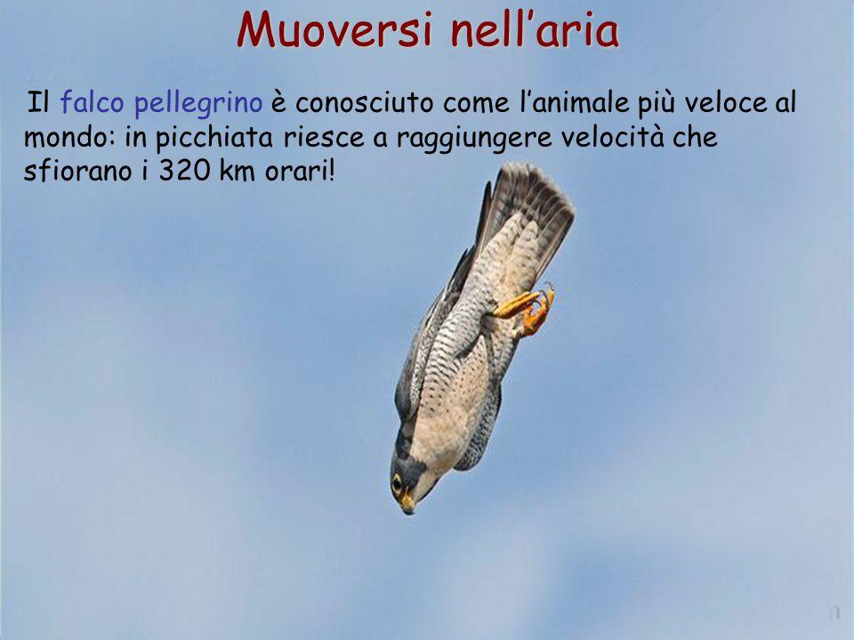59 Il falco pellegrino è conosciuto come l'animale più veloce al mondo: in picchiata riesce a raggiungere velocità che sfiorano i 320 km orari! Muover