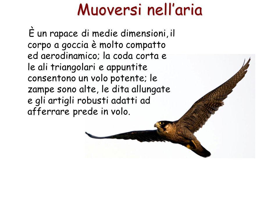 60 È un rapace di medie dimensioni, il corpo a goccia è molto compatto ed aerodinamico; la coda corta e le ali triangolari e appuntite consentono un v