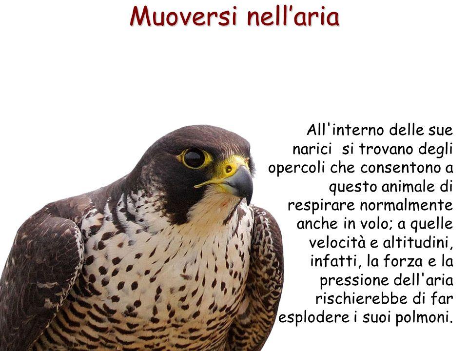 61 All'interno delle sue narici si trovano degli opercoli che consentono a questo animale di respirare normalmente anche in volo; a quelle velocità e