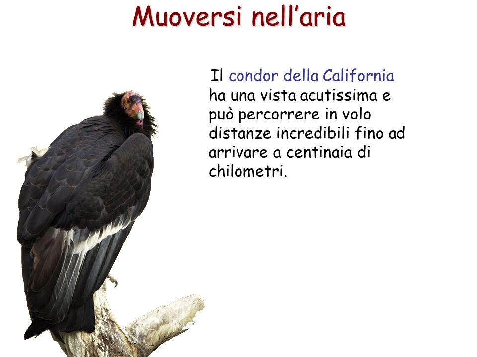 62 Il condor della California ha una vista acutissima e può percorrere in volo distanze incredibili fino ad arrivare a centinaia di chilometri. Muover