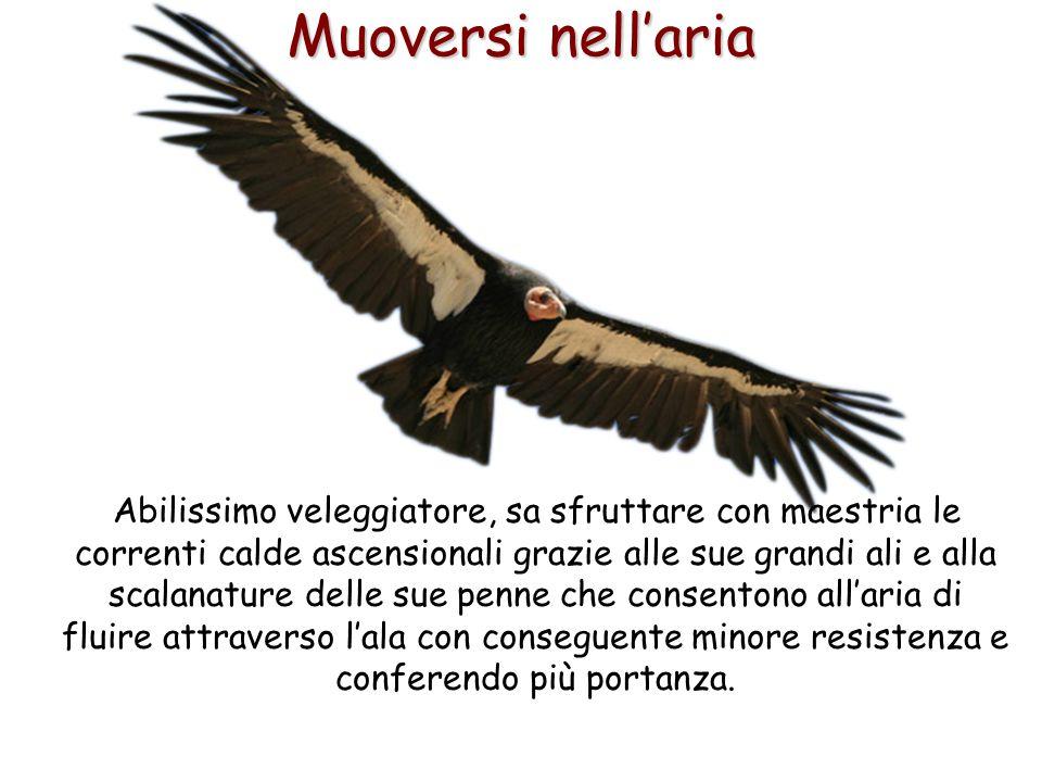 63 Abilissimo veleggiatore, sa sfruttare con maestria le correnti calde ascensionali grazie alle sue grandi ali e alla scalanature delle sue penne che