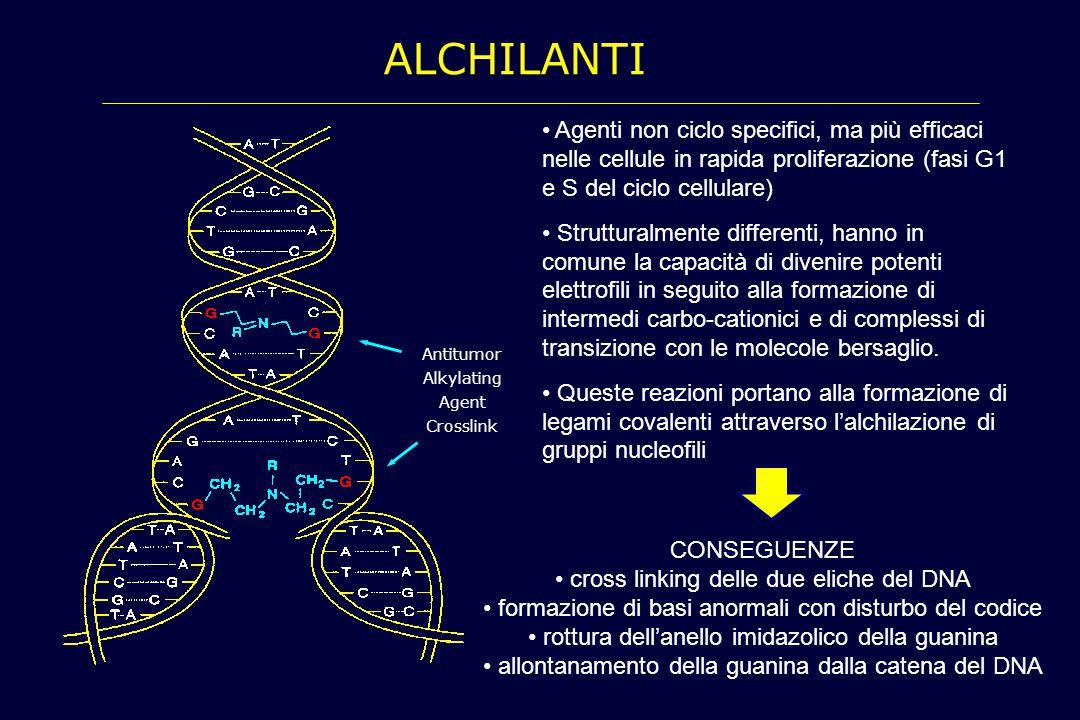 ALCHILANTI Agenti non ciclo specifici, ma più efficaci nelle cellule in rapida proliferazione (fasi G1 e S del ciclo cellulare) Strutturalmente differ