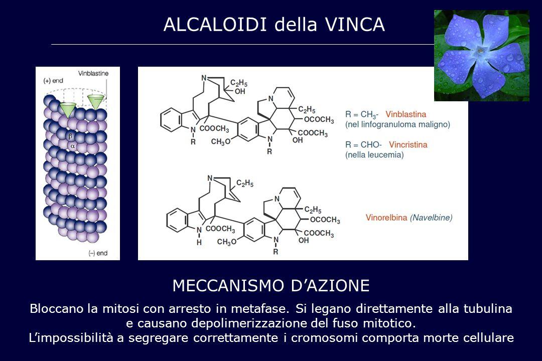 ALCALOIDI della VINCA MECCANISMO D'AZIONE Bloccano la mitosi con arresto in metafase. Si legano direttamente alla tubulina e causano depolimerizzazion