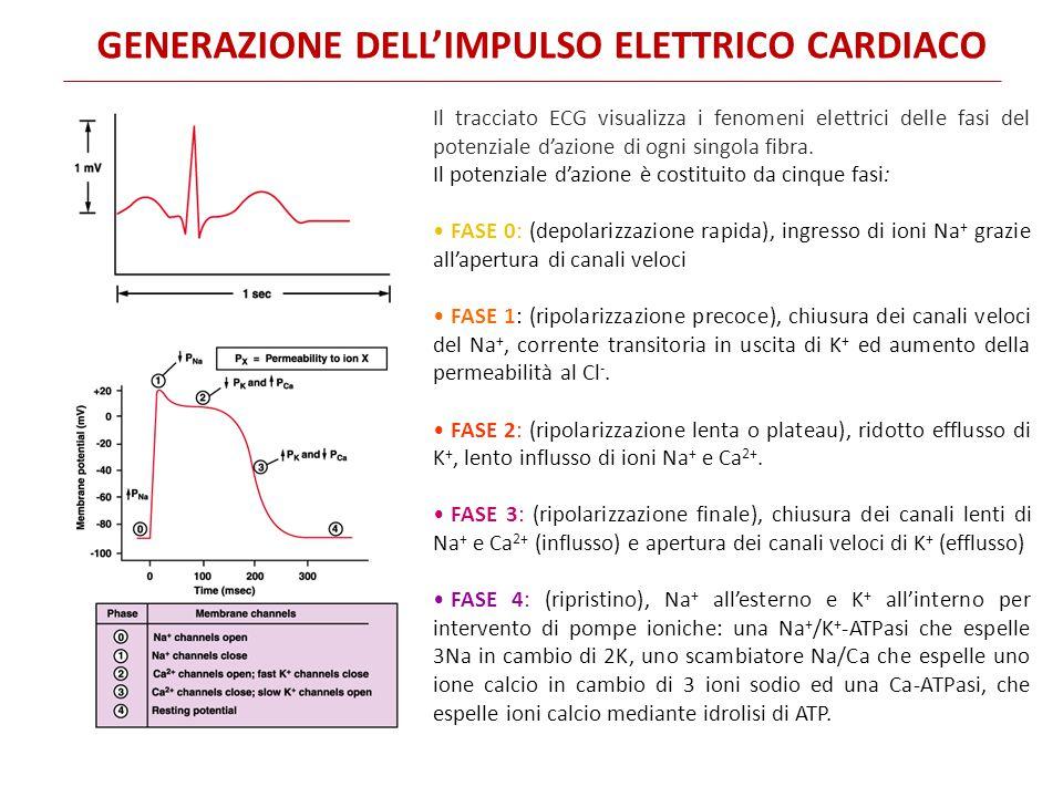 GENERAZIONE DELL'IMPULSO ELETTRICO CARDIACO Il tracciato ECG visualizza i fenomeni elettrici delle fasi del potenziale d'azione di ogni singola fibra.