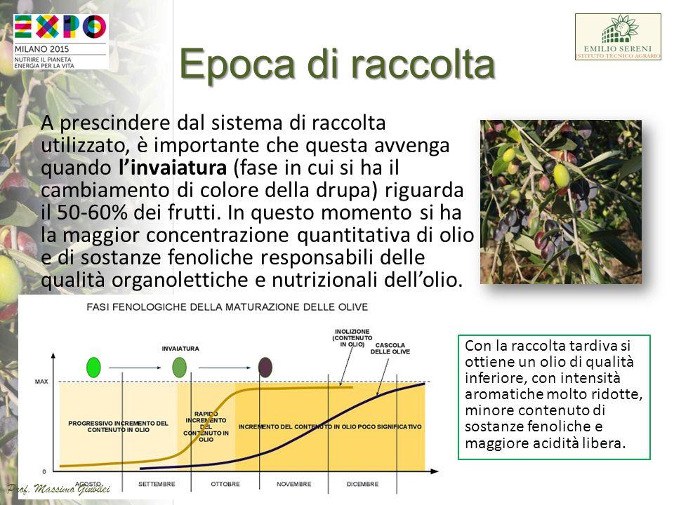 L'olio di oliva ottenuto dalla spremitura delle olive è la principale fonte di grassi della Dieta Mediterranea e un'ottima fonte di polifenoli.