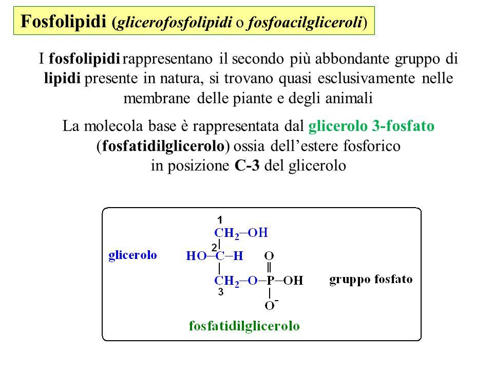 Fosfolipidi (glicerofosfolipidi o fosfoacilgliceroli) I fosfolipidi rappresentano il secondo più abbondante gruppo di lipidi presente in natura, si tr