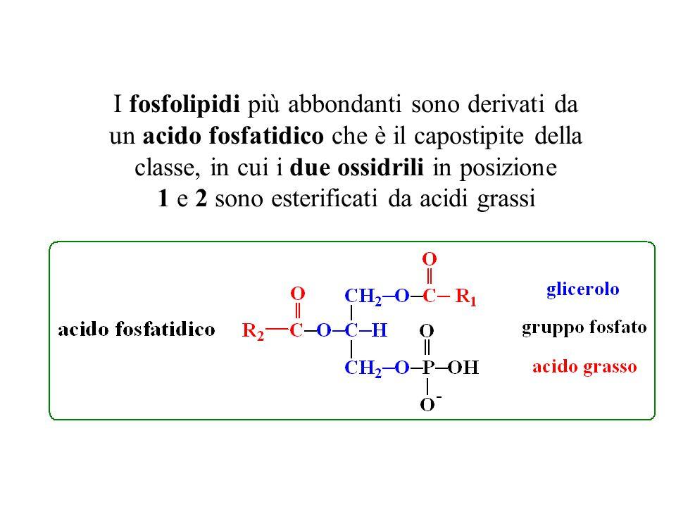 I fosfolipidi più abbondanti sono derivati da un acido fosfatidico che è il capostipite della classe, in cui i due ossidrili in posizione 1 e 2 sono e