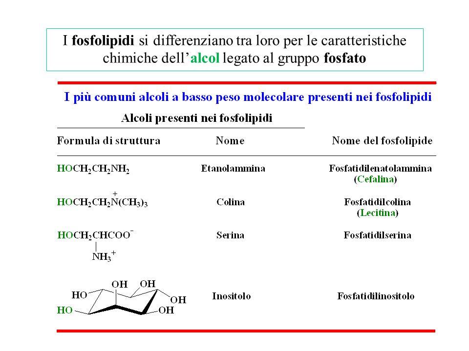 I fosfolipidi si differenziano tra loro per le caratteristiche chimiche dell'alcol legato al gruppo fosfato