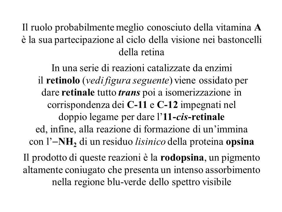 Il ruolo probabilmente meglio conosciuto della vitamina A è la sua partecipazione al ciclo della visione nei bastoncelli della retina In una serie di