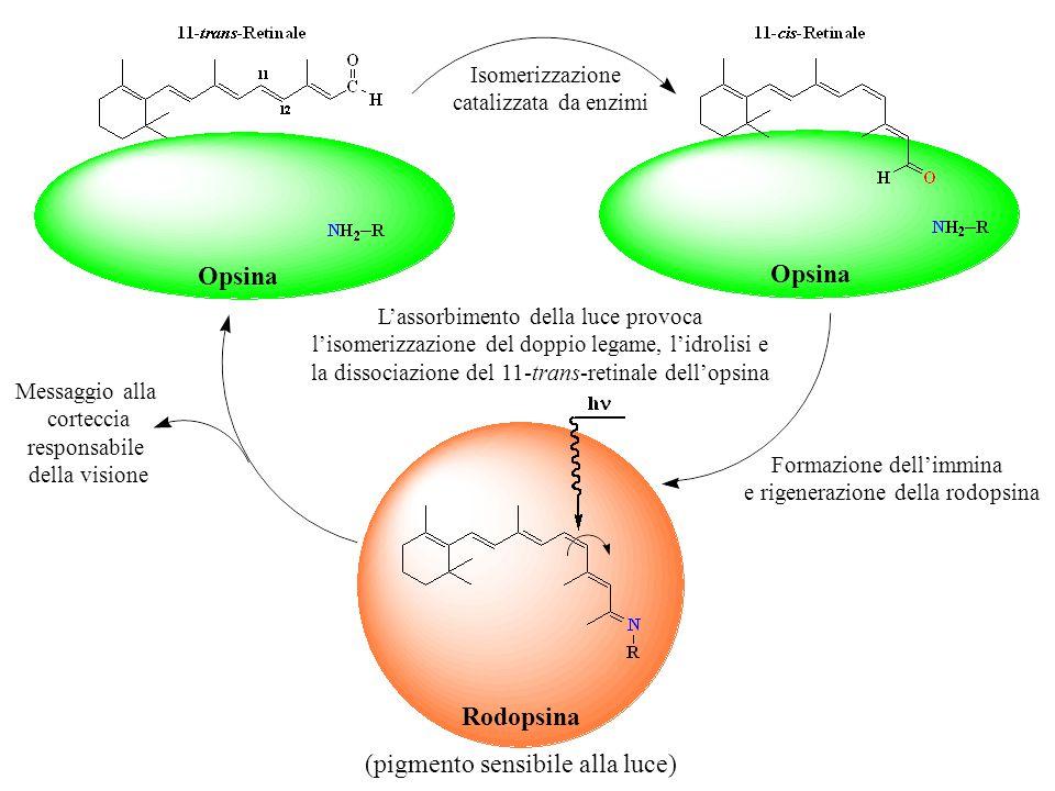Opsina Isomerizzazione catalizzata da enzimi Opsina Formazione dell'immina e rigenerazione della rodopsina L'assorbimento della luce provoca l'isomeri