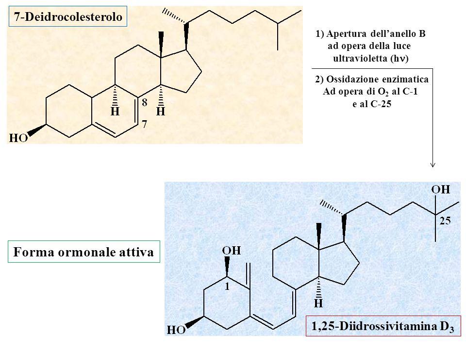 1) Apertura dell'anello B ad opera della luce ultravioletta (h ) 2) Ossidazione enzimatica Ad opera di O 2 al C-1 e al C-25 7-Deidrocolesterolo 1,25-D