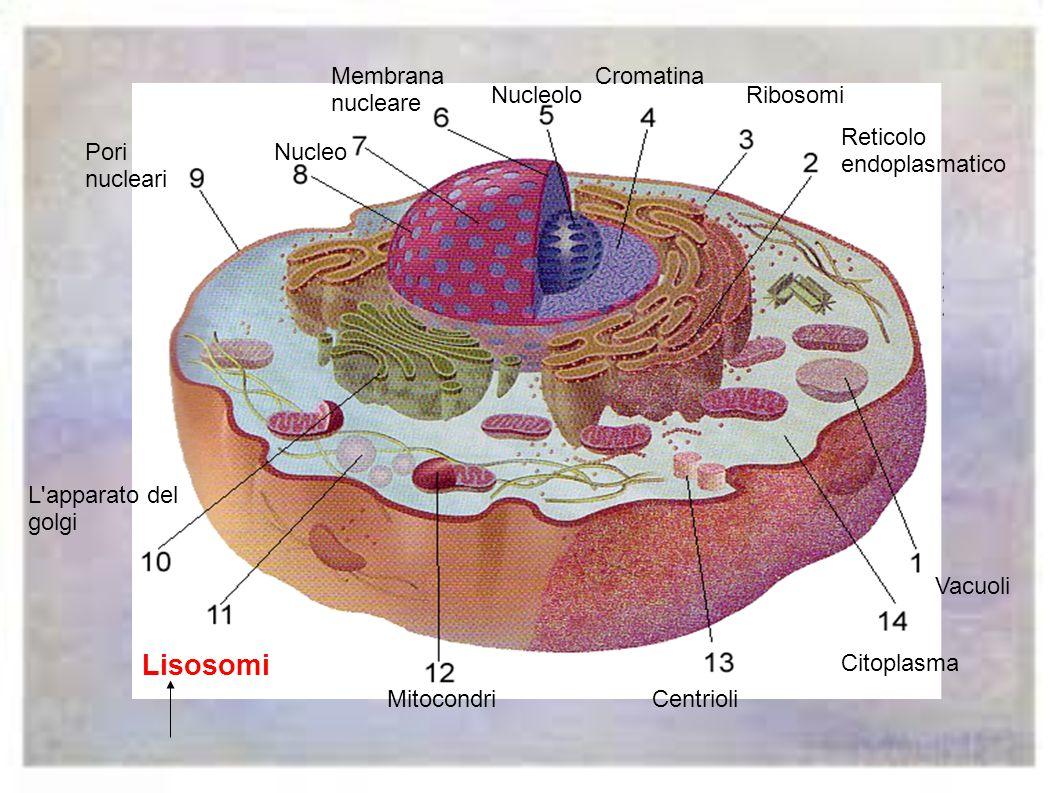 L' apparato del Golgi è il magazzino dove le materie prime vengono assemblate,imballate e distribuite.