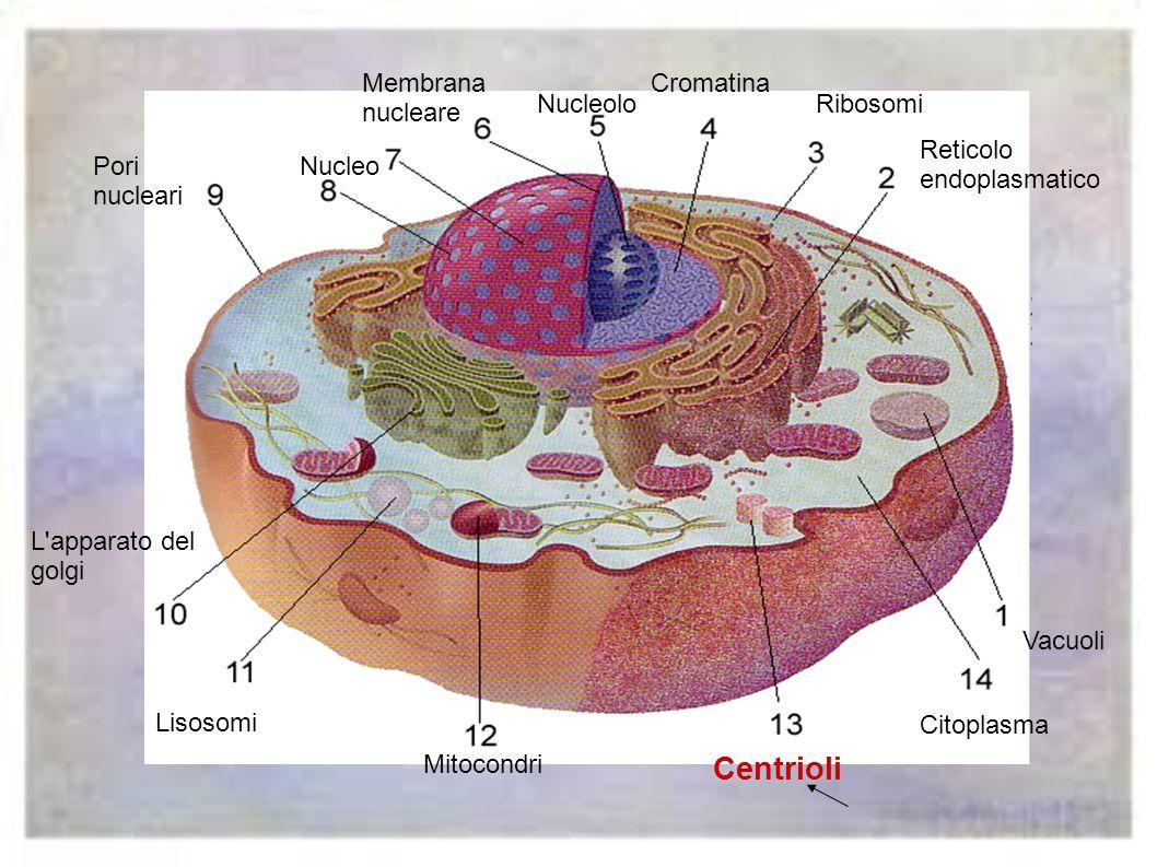 I mitocondri sono le centrali che producono energia