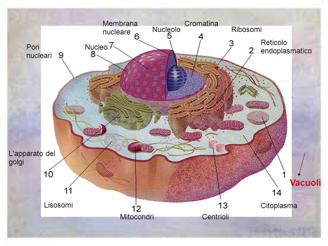 I centrioli intervengono nella riproduzione della cellula