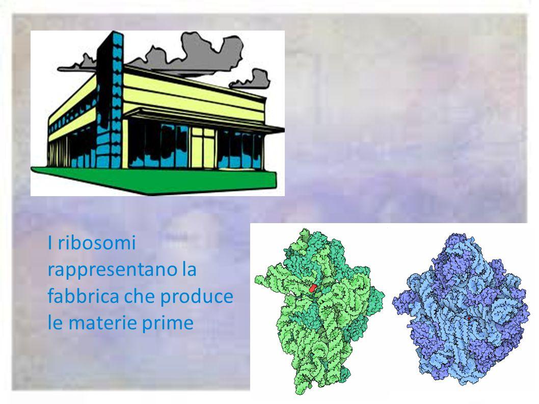 Vacuoli Reticolo endoplasmatico Ribosomi Cromatina Nucleolo Membrana nucleare NucleoPori nucleari L'apparato del golgi Lisosomi MitocondriCentrioli Ci