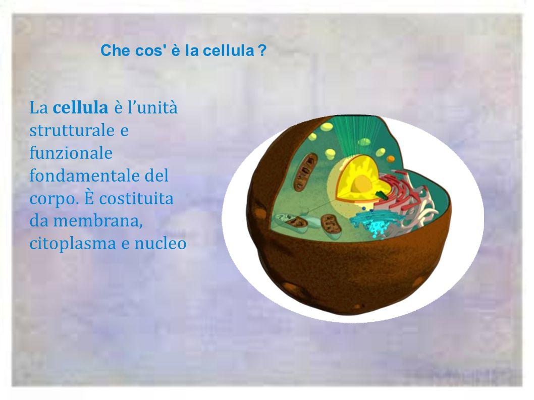 La cellula è l'unità strutturale e funzionale fondamentale del corpo.