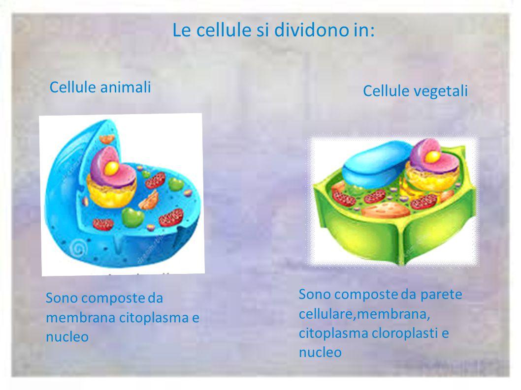Le cellule si dividono in: Cellule animali Cellule vegetali Sono composte da membrana citoplasma e nucleo Sono composte da parete cellulare,membrana, citoplasma cloroplasti e nucleo