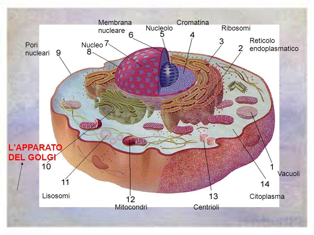 Vacuoli Reticolo endoplasmatico Ribosomi Cromatina Nucleolo Membrana nucleare NucleoPori nucleari L apparato del golgi Lisosomi MitocondriCentrioli Citoplasma