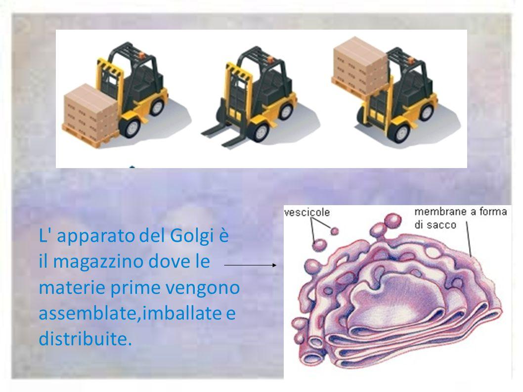 Il reticolo endoplasmatico è una rete di trasporti