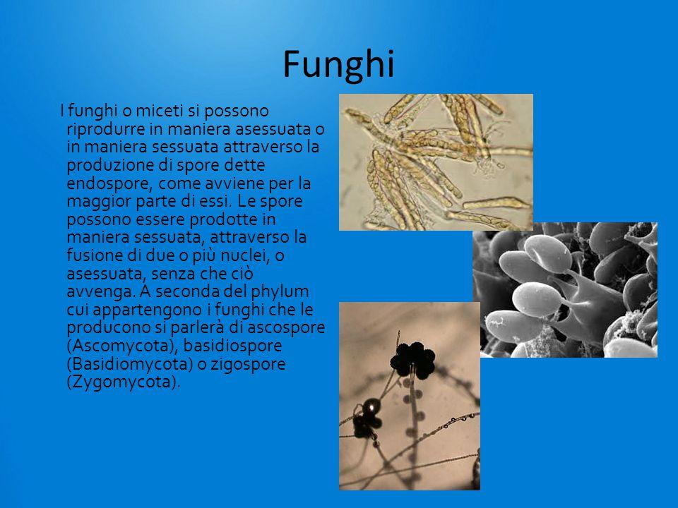 Funghi I funghi o miceti si possono riprodurre in maniera asessuata o in maniera sessuata attraverso la produzione di spore dette endospore, come avviene per la maggior parte di essi.