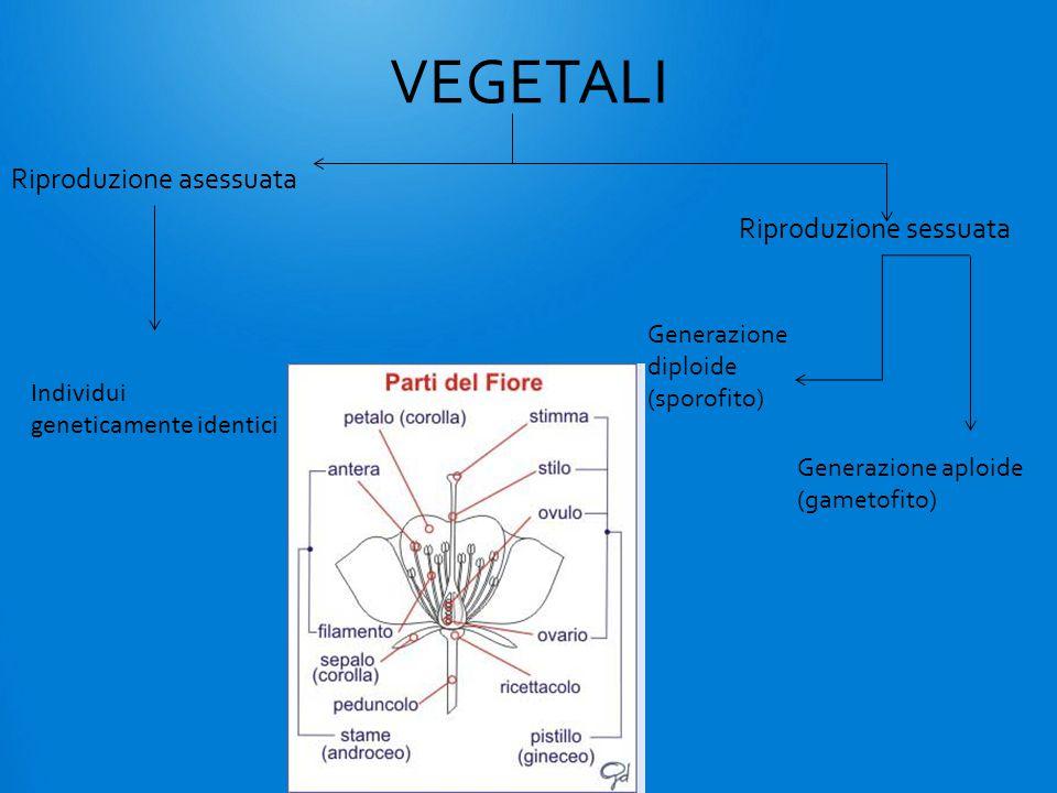 VEGETALI Riproduzione asessuata Riproduzione sessuata Individui geneticamente identici Generazione aploide (gametofito) Generazione diploide (sporofito)