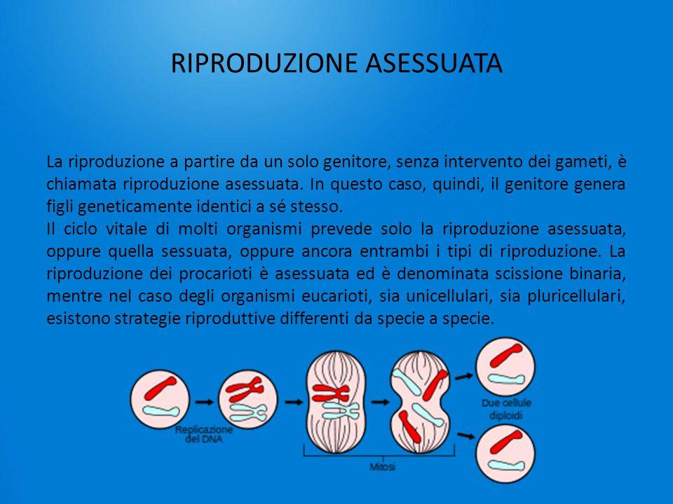RIPRODUZIONE ASESSUATA La riproduzione a partire da un solo genitore, senza intervento dei gameti, è chiamata riproduzione asessuata. In questo caso,