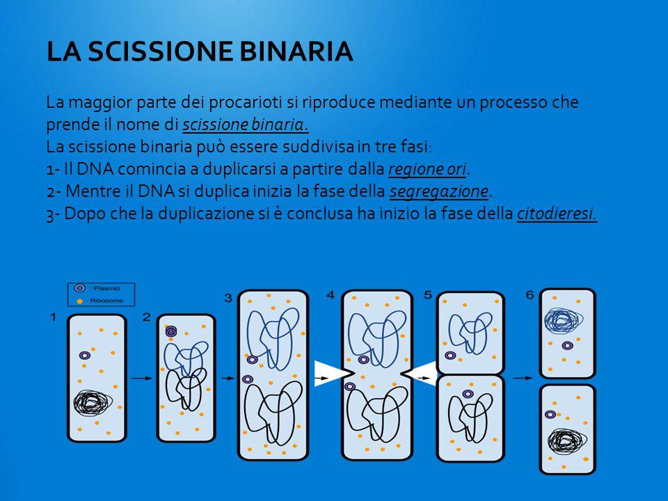 La maggior parte dei procarioti si riproduce mediante un processo che prende il nome di scissione binaria. La scissione binaria può essere suddivisa i