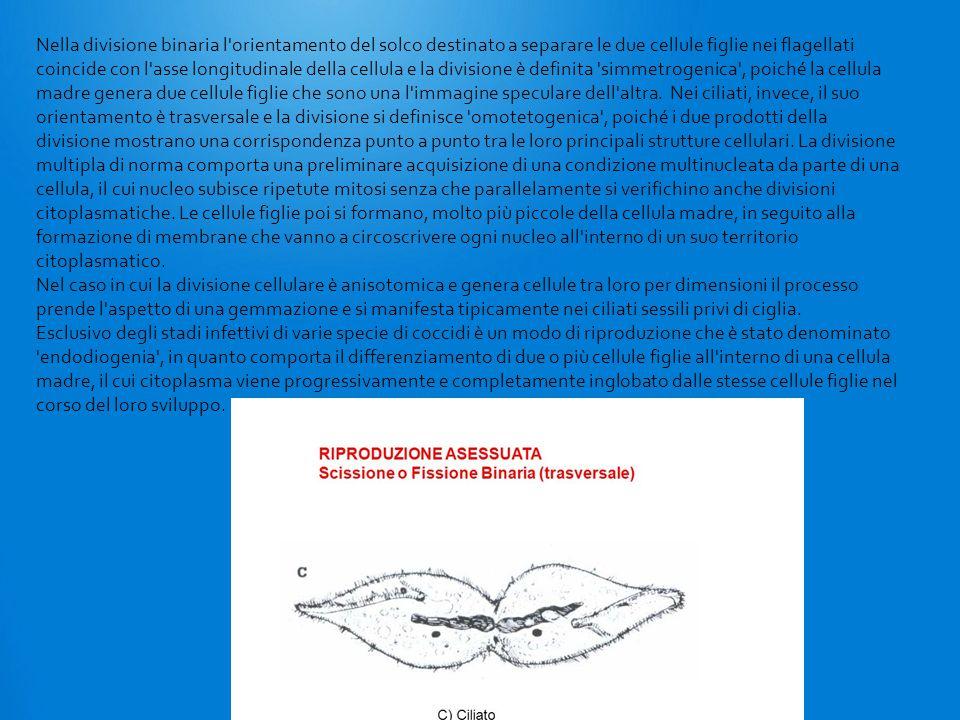 Nella divisione binaria l'orientamento del solco destinato a separare le due cellule figlie nei flagellati coincide con l'asse longitudinale della cel