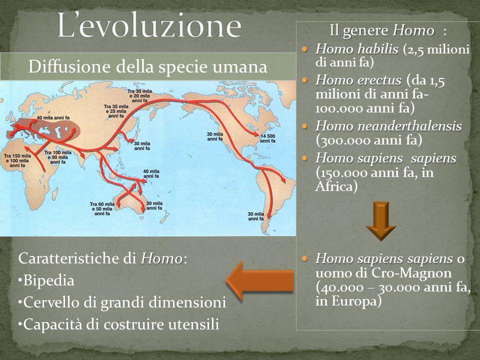 Il genere Homo Il genere Homo : Homo habilis Homo habilis (2,5 milioni di anni fa) Homo erectus Homo erectus (da 1,5 milioni di anni fa- 100.000 anni