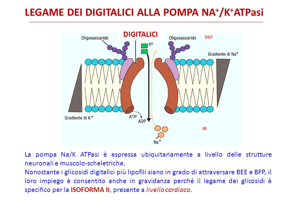 LEGAME DEI DIGITALICI ALLA POMPA NA + /K + ATPasi DIGITALICI La pompa Na/K ATPasi è espressa ubiquitariamente a livello delle strutture neuronali e muscolo-scheletriche.