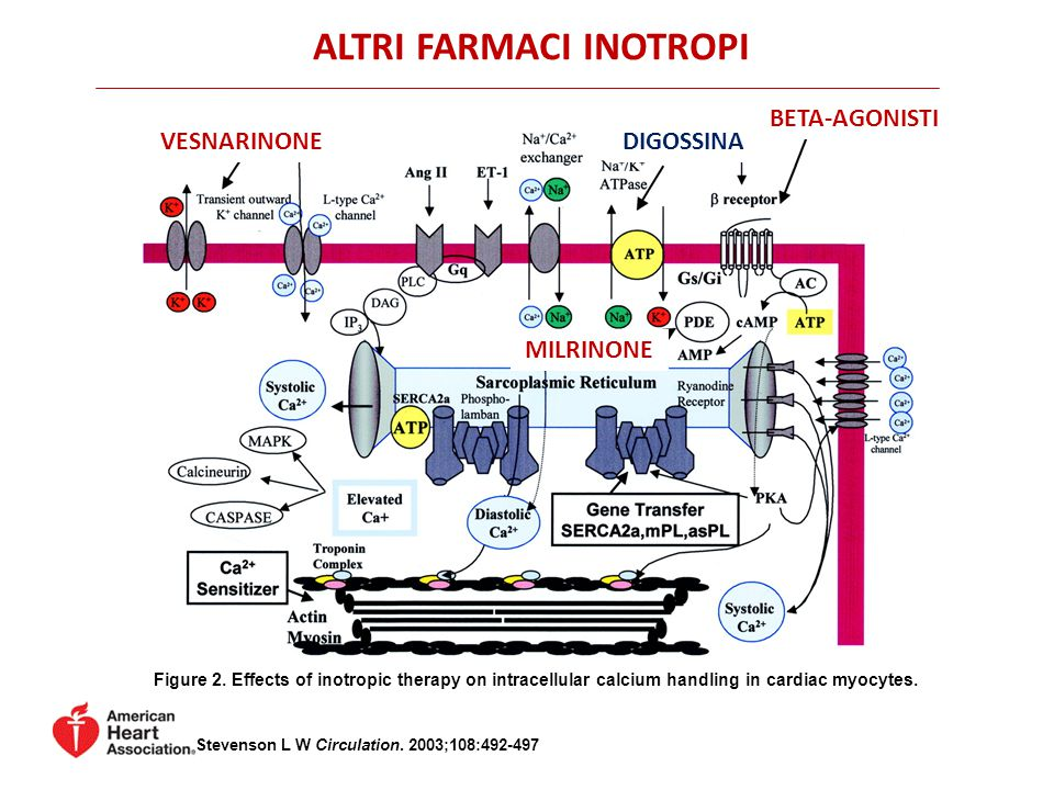 Figure 2. Effects of inotropic therapy on intracellular calcium handling in cardiac myocytes. Stevenson L W Circulation. 2003;108:492-497 VESNARINONE