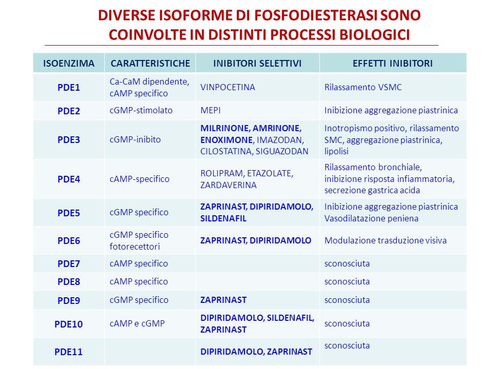 DIVERSE ISOFORME DI FOSFODIESTERASI SONO COINVOLTE IN DISTINTI PROCESSI BIOLOGICI ISOENZIMACARATTERISTICHEINIBITORI SELETTIVIEFFETTI INIBITORI PDE1 Ca-CaM dipendente, cAMP specifico VINPOCETINARilassamento VSMC PDE2 cGMP-stimolatoMEPIInibizione aggregazione piastrinica PDE3 cGMP-inibito MILRINONE, AMRINONE, ENOXIMONE, IMAZODAN, CILOSTATINA, SIGUAZODAN Inotropismo positivo, rilassamento SMC, aggregazione piastrinica, lipolisi PDE4 cAMP-specifico ROLIPRAM, ETAZOLATE, ZARDAVERINA Rilassamento bronchiale, inibizione risposta infiammatoria, secrezione gastrica acida PDE5 cGMP specifico ZAPRINAST, DIPIRIDAMOLO, SILDENAFIL Inibizione aggregazione piastrinica Vasodilatazione peniena PDE6 cGMP specifico fotorecettori ZAPRINAST, DIPIRIDAMOLOModulazione trasduzione visiva PDE7 cAMP specificosconosciuta PDE8 cAMP specificosconosciuta PDE9 cGMP specificoZAPRINASTsconosciuta PDE10 cAMP e cGMP DIPIRIDAMOLO, SILDENAFIL, ZAPRINAST sconosciuta PDE11 DIPIRIDAMOLO, ZAPRINAST sconosciuta