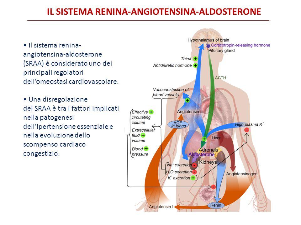 IL SISTEMA RENINA-ANGIOTENSINA-ALDOSTERONE Il sistema renina- angiotensina-aldosterone (SRAA) è considerato uno dei principali regolatori dell'omeostasi cardiovascolare.