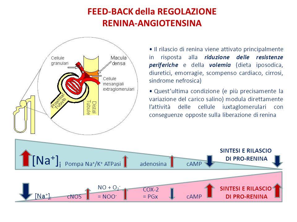 FEED-BACK della REGOLAZIONE RENINA-ANGIOTENSINA Il rilascio di renina viene attivato principalmente in risposta alla riduzione delle resistenze periferiche e della volemia (dieta iposodica, diuretici, emorragie, scompenso cardiaco, cirrosi, sindrome nefrosica) Quest'ultima condizione (e più precisamente la variazione del carico salino) modula direttamente l'attività delle cellule iuxtaglomerulari con conseguenze opposte sulla liberazione di renina [Na + ] i SINTESI E RILASCIO DI PRO-RENINA Pompa Na + /K + ATPasiadenosinacAMP [Na + ] i SINTESI E RILASCIO DI PRO-RENINA cNOS NO + O 2 - COX-2 = NOO - cAMP= PGx