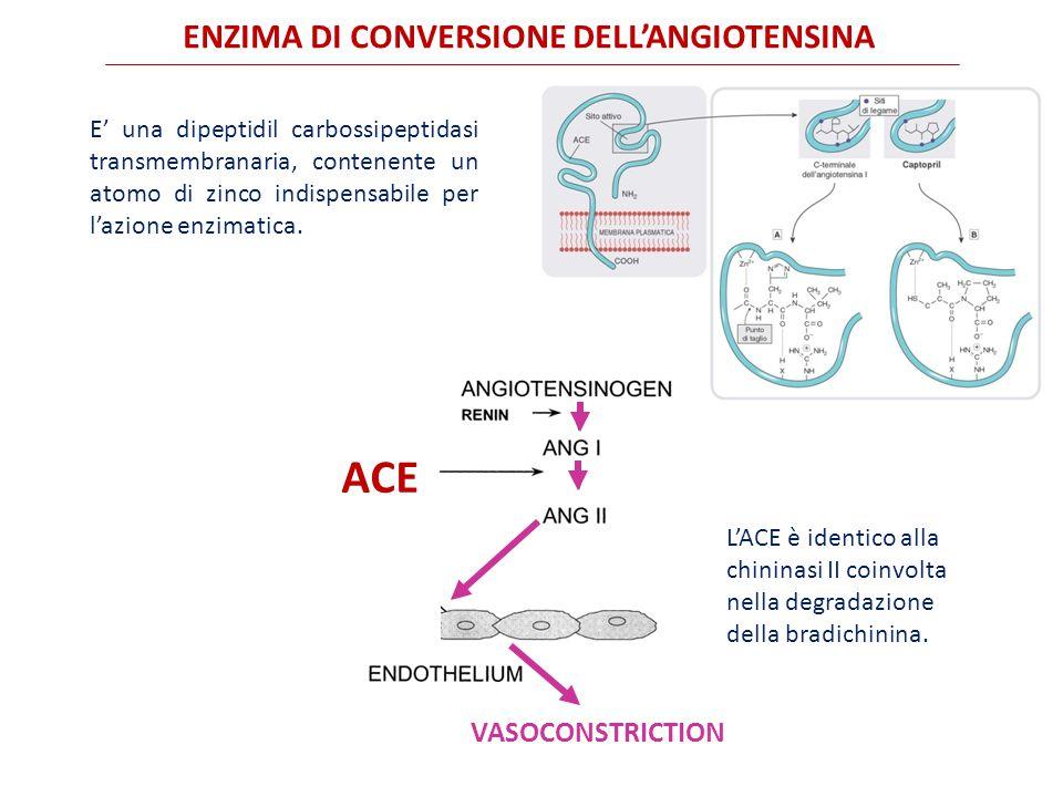 ENZIMA DI CONVERSIONE DELL'ANGIOTENSINA E' una dipeptidil carbossipeptidasi transmembranaria, contenente un atomo di zinco indispensabile per l'azione enzimatica.