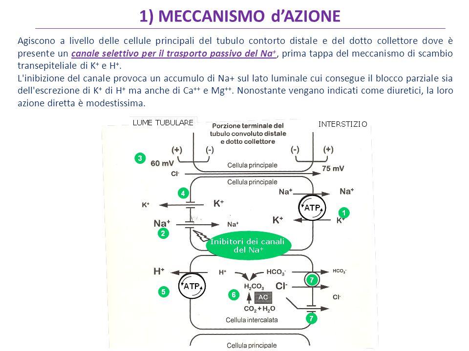 1) MECCANISMO d'AZIONE Agiscono a livello delle cellule principali del tubulo contorto distale e del dotto collettore dove è presente un canale selettivo per il trasporto passivo del Na +, prima tappa del meccanismo di scambio transepiteliale di K + e H +.