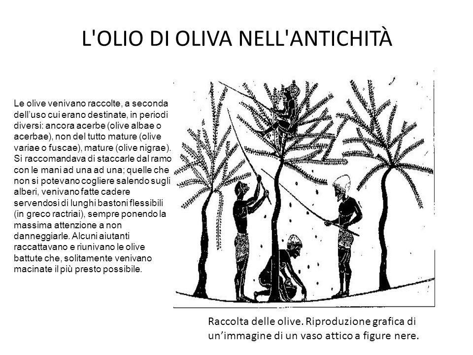 L'OLIO DI OLIVA NELL'ANTICHITÀ Raccolta delle olive. Riproduzione grafica di un'immagine di un vaso attico a figure nere. Le olive venivano raccolte,