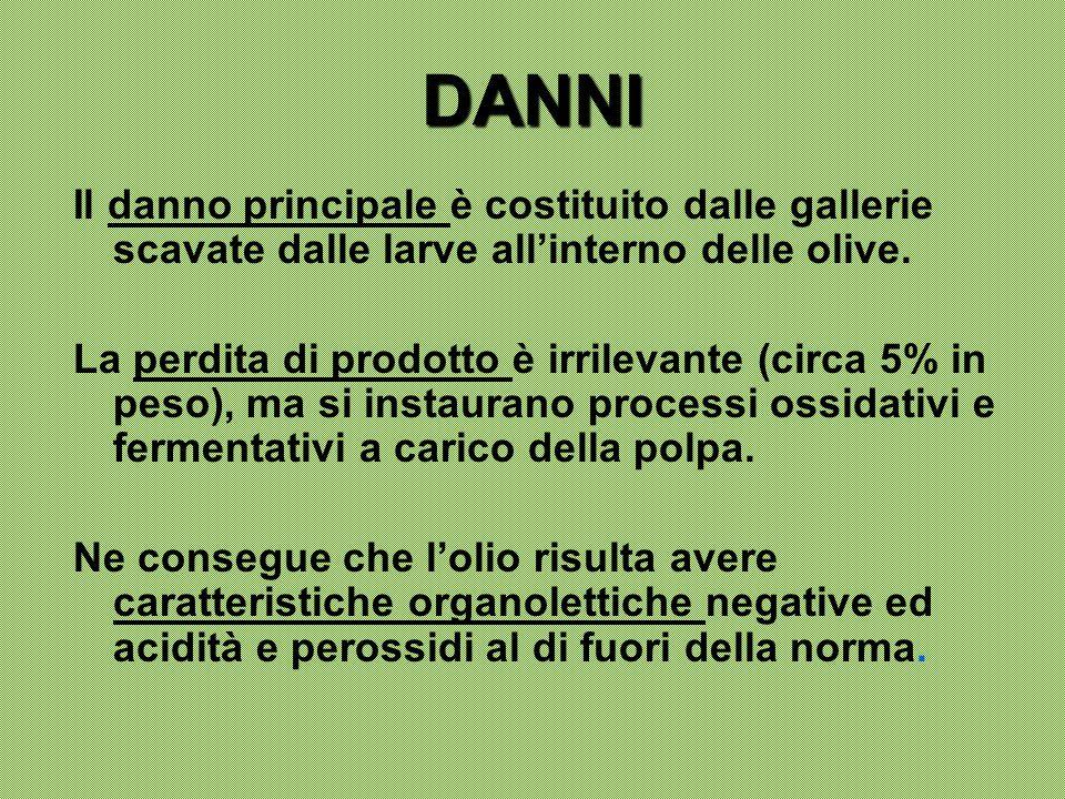 DANNI Il danno principale è costituito dalle gallerie scavate dalle larve all'interno delle olive. La perdita di prodotto è irrilevante (circa 5% in p