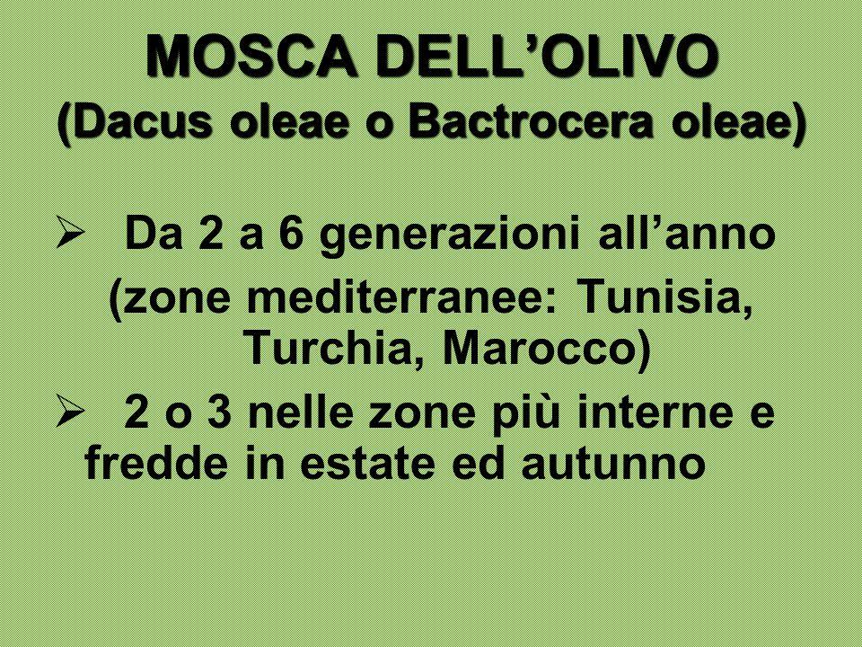 MOSCA DELL'OLIVO (Dacus oleae o Bactrocera oleae)  Da 2 a 6 generazioni all'anno (zone mediterranee: Tunisia, Turchia, Marocco)  2 o 3 nelle zone pi