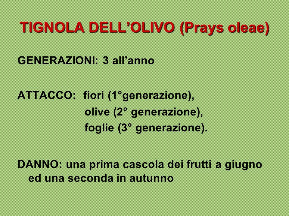 TIGNOLA DELL'OLIVO (Prays oleae) GENERAZIONI: 3 all'anno ATTACCO: fiori (1°generazione), olive (2° generazione), foglie (3° generazione). DANNO: una p
