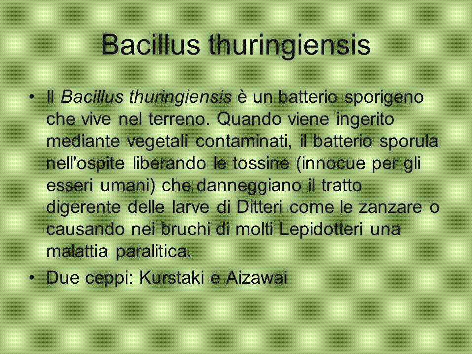 Bacillus thuringiensis Il Bacillus thuringiensis è un batterio sporigeno che vive nel terreno. Quando viene ingerito mediante vegetali contaminati, il